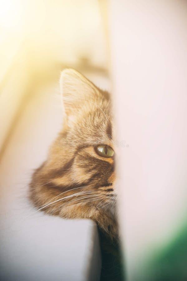 El gato mira detrás de la cortina imagenes de archivo