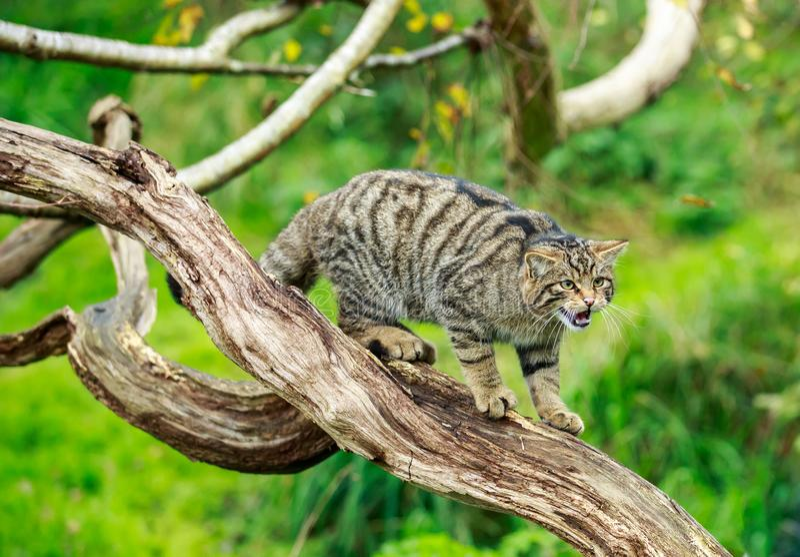 El gato montés o el tigre escocés de las montañas que gruñe de un árbol imagenes de archivo