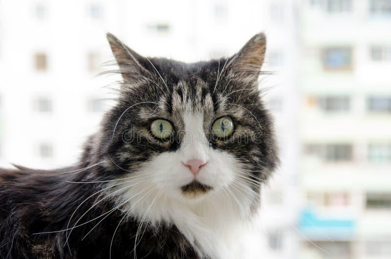 El gato mullido grande lindo con los ojos verdes se sienta en el balcón y mira derecho fotos de archivo libres de regalías