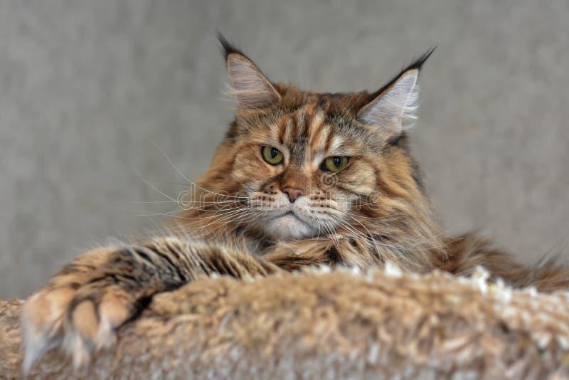 El gato mullido grande Maine Coon miente arriba en el estante y mira abajo foto de archivo libre de regalías