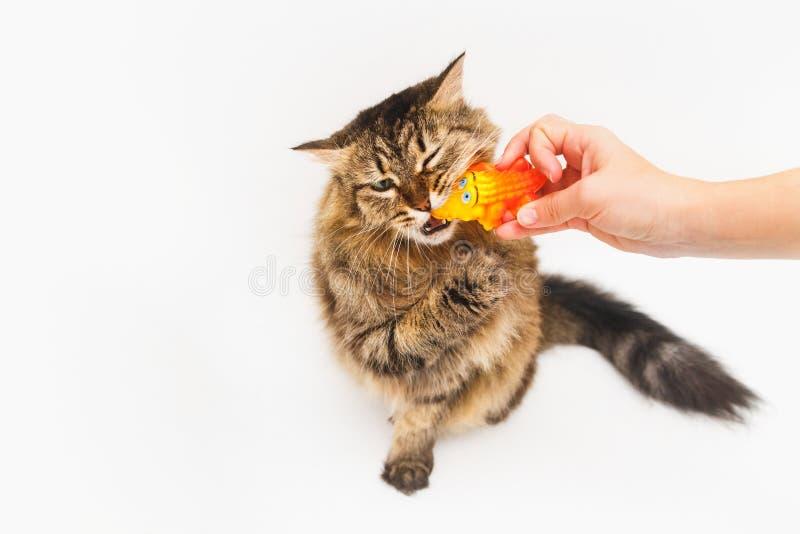 El gato mullido juega con un cocodrilo amarillo en un fondo blanco La mano de la muchacha que sostiene un juguete fotografía de archivo libre de regalías