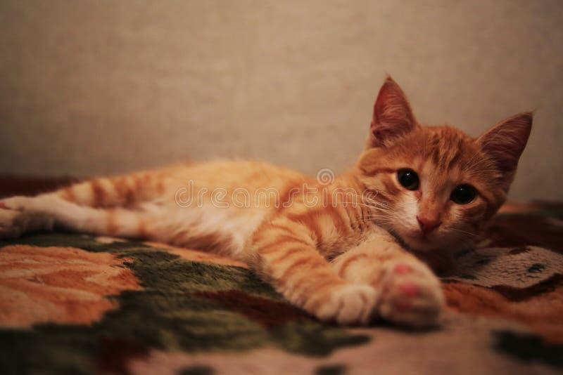 El gato mullido rojo miente en la parte de atr?s del sof? imagenes de archivo
