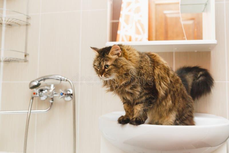 El gato mullido se coloca en un lavabo blanco en el cuarto de baño y mira abajo imágenes de archivo libres de regalías