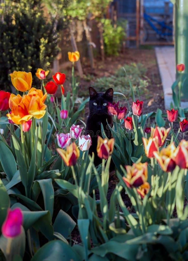 El gato negro, en jardín de la primavera con los tulipanes coloreados imagen de archivo