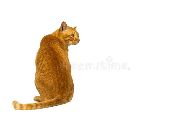 El gato o el gato atigrado joven anaranjado hermoso y elegante se sienta detrás aislado en el fondo blanco con la trayectoria de  fotos de archivo libres de regalías