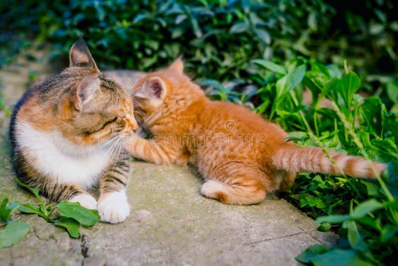 El gato pelirrojo alimenta un gatito pelirrojo fotografía de archivo libre de regalías