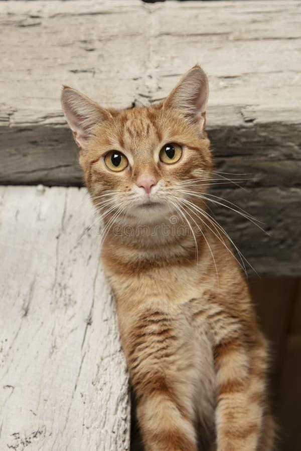 El gato pelirrojo está mirando fijamente la lente fotografía de archivo