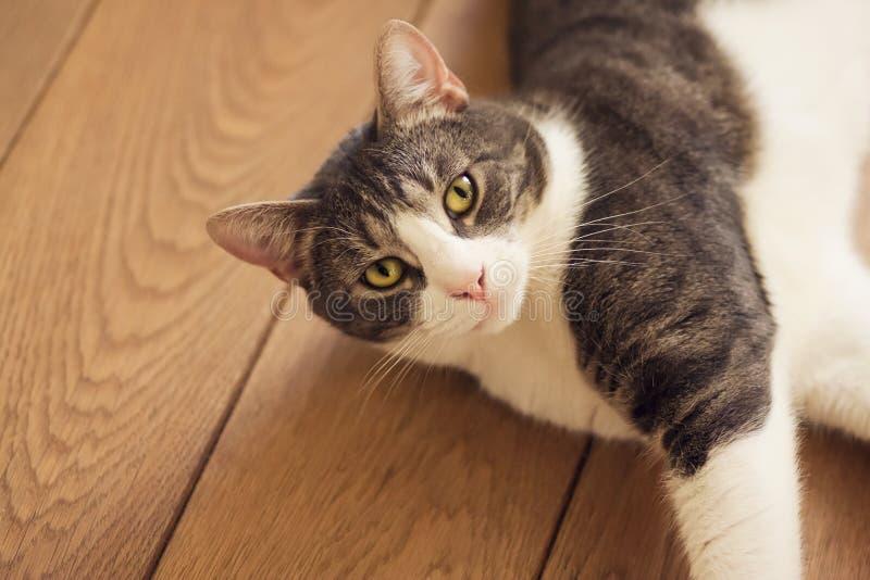 El gato rayado está situado en un piso plano del tablero de madera imagen de archivo libre de regalías
