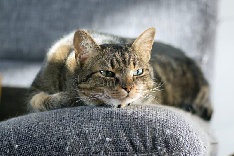 El gato rayado mármol soñoliento perezoso, retrato de agujerear el gato atigrado nacional miente en el sofá gris imágenes de archivo libres de regalías