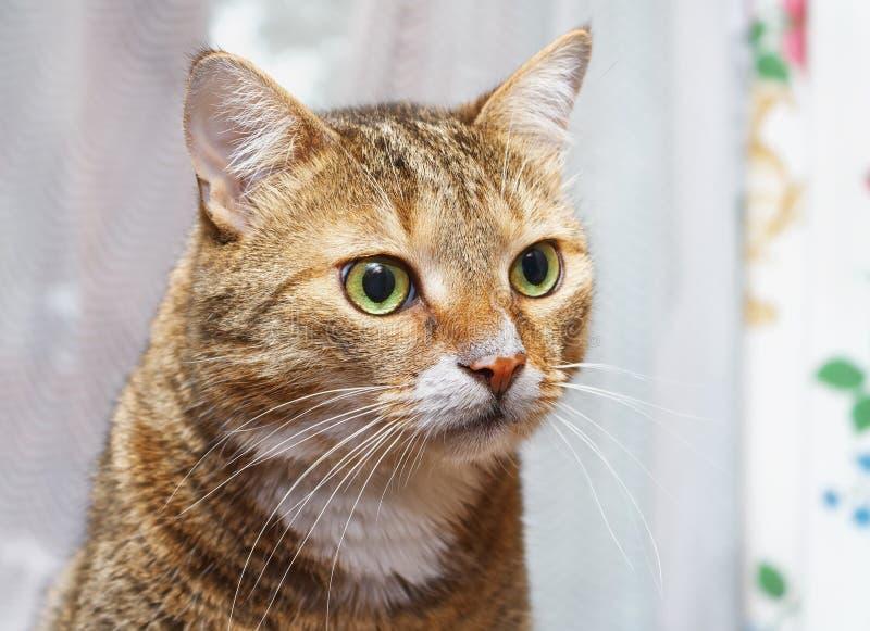 El gato rayado mira al dueño con sorpresa foto de archivo