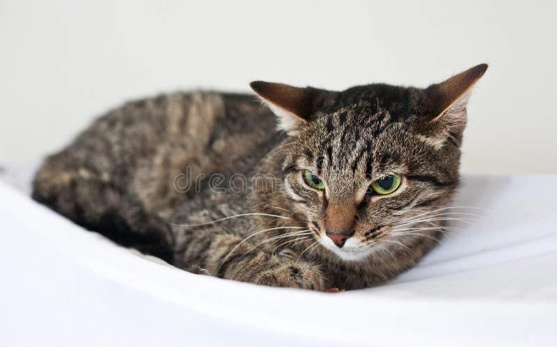 El gato rayado se sienta en el sitio blanco fotos de archivo libres de regalías