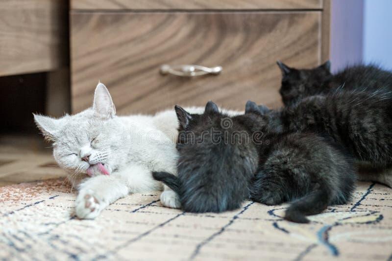 El gato recto británico alimenta pequeños gatitos el concepto de animales dom?sticos foto de archivo