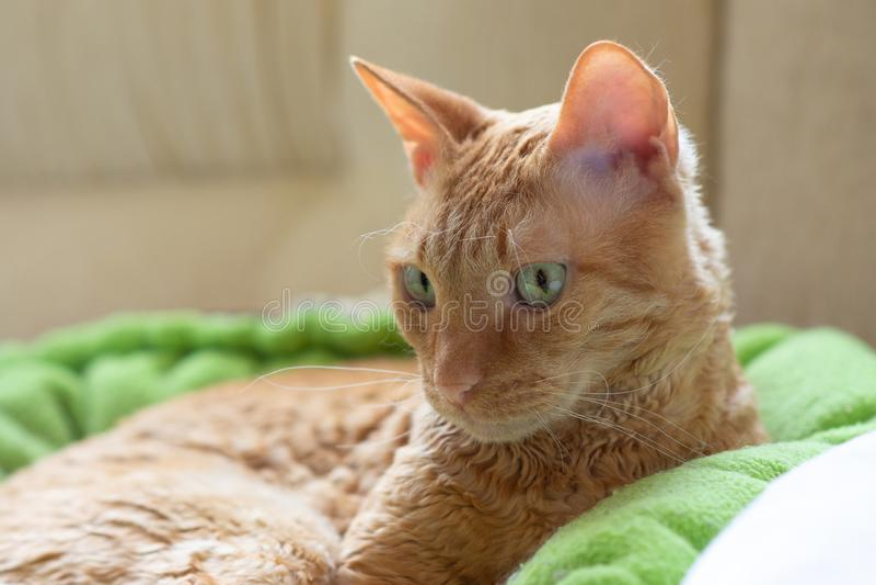 El gato rizado encantador Ural Rex miente en la cama delante de la ventana y mira ojos verdes al lado foto de archivo