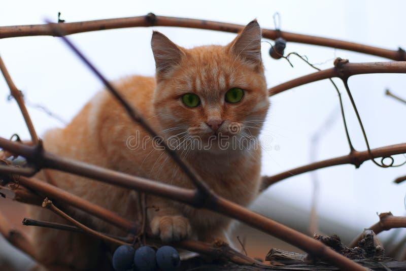 el gato Rojo-dirigido se sienta en una rama de uvas foto de archivo