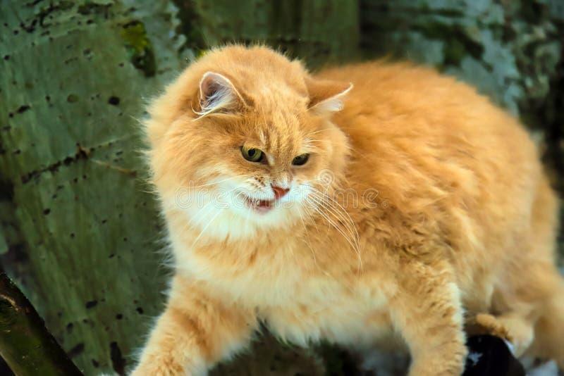 El gato rojo enojado grande con la boca abierta se sienta en un árbol foto de archivo