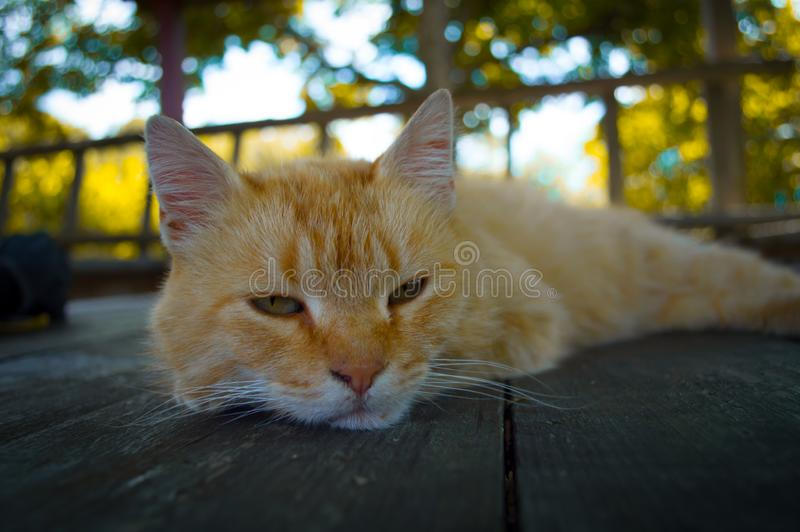 El gato rojo está alimentado y cansado fotografía de archivo