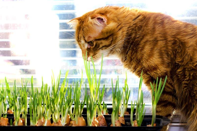 El gato rojo mira y huele las cebollas verdes de los jóvenes fotos de archivo libres de regalías