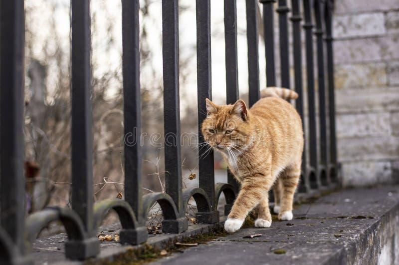 El gato rojo-rayado hermoso con los puntos blancos camina agraciado con imagen de archivo