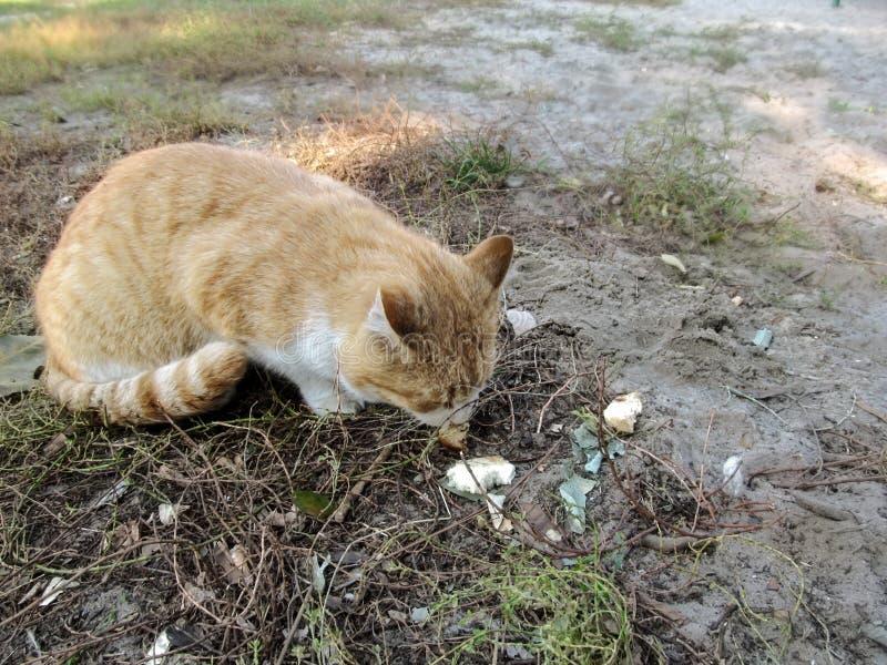 El gato rojo sin hogar come el pan del aire libre de tierra fotos de archivo libres de regalías