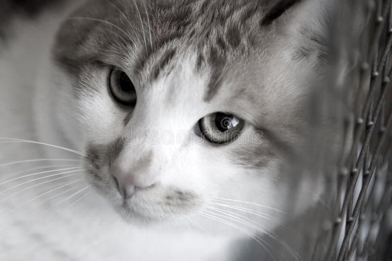 El gato rojo triste cría bobtail en una jaula imagen de archivo