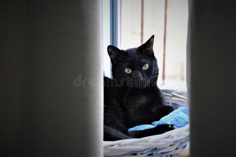 El gato se sienta en la cesta blanca y mira a escondidas hacia fuera de detrás las cortinas foto de archivo libre de regalías