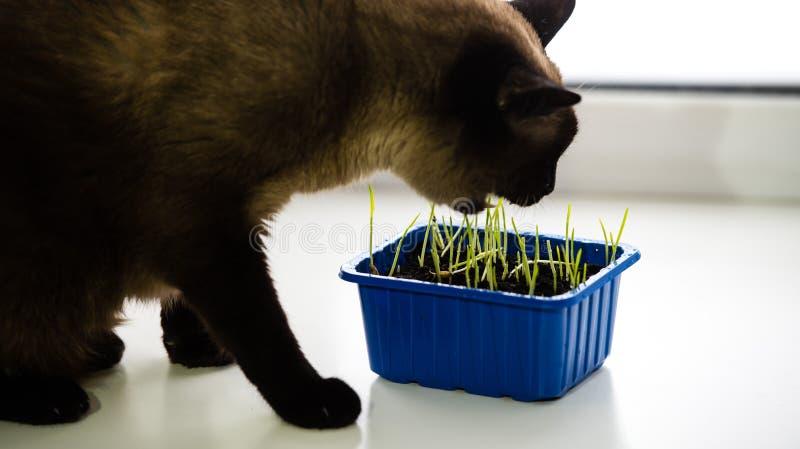 El gato siamés oscuro come la hierba verde en un envase en el alféizar fotos de archivo libres de regalías