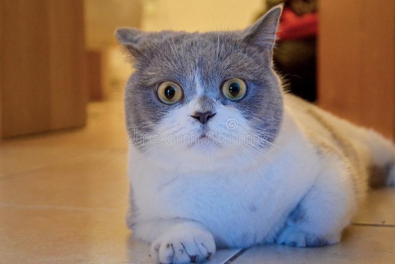 El gato sorprendido miente en el piso tejado en la casa Bozal de un gato británico con los ojos grandes, animal asustado foto de archivo