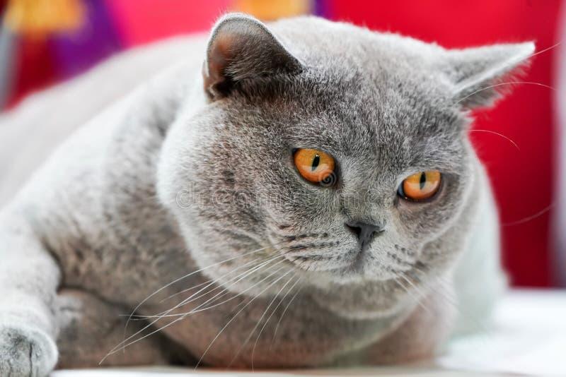 El gato tailandés de Korat con los ojos amarillos de la piel gris Es el ganador de la competencia hermosa del gato del torneo imágenes de archivo libres de regalías