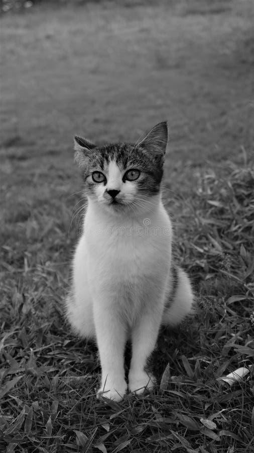 El gato tailandés es hermoso fotografía de archivo