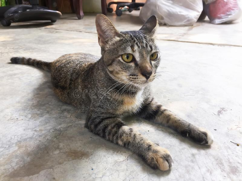 El gato tailandés es un gato lindo Cierre para arriba imágenes de archivo libres de regalías