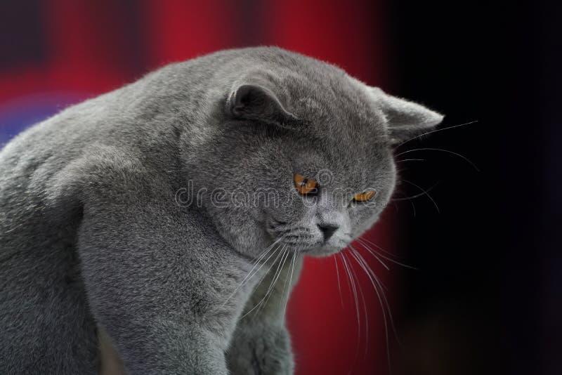 El gato tailand?s gordo de Korat con la piel gris oscuro con los ojos amarillos en fondo rojo foto de archivo libre de regalías