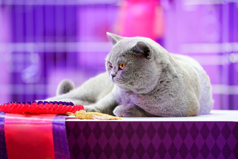El gato tailand?s de Korat con los ojos amarillos de la piel gris Es el ganador de la competencia hermosa del gato del torneo fotografía de archivo