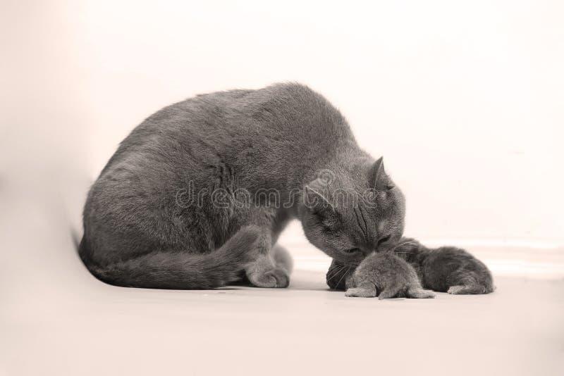 El gato toma el cuidado de sus nuevos borns, primer día de vida fotos de archivo