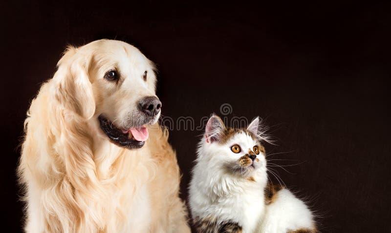 El gato y el perro, gatito recto blanco de la concha escocesa, golden retriever mira la derecha foto de archivo