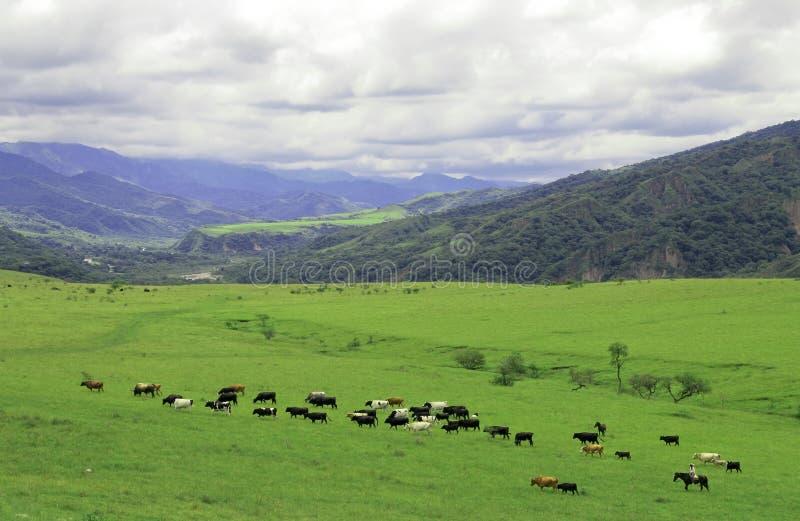El gaucho que reúne vacas acerca a Salta, la Argentina imagen de archivo