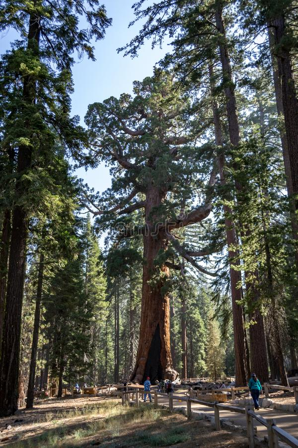 El gigante del grisáceo es uno de los árboles más grandes del mundo imagenes de archivo