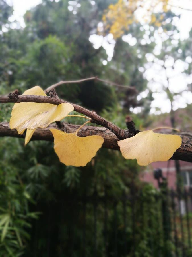 El ginkgo mojado deja la situación en rama y esperar la lluvia siguiente del otoño imagen de archivo