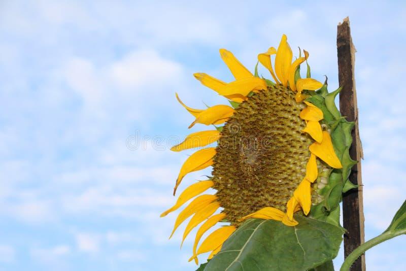 El girasol que florece en el árbol con el fondo del cielo azul, los girasoles amarillos se cultiva para sus semillas comestibles fotos de archivo