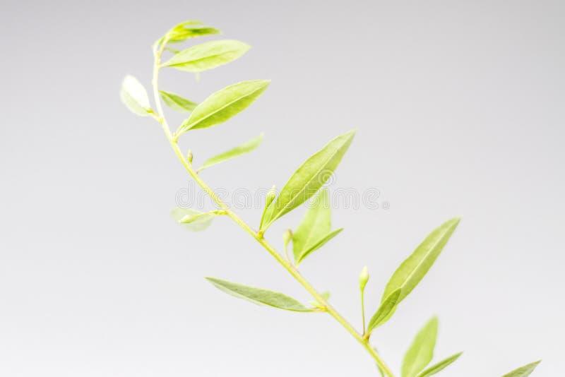 El goji verde se va en un fondo blanco fotografía de archivo libre de regalías