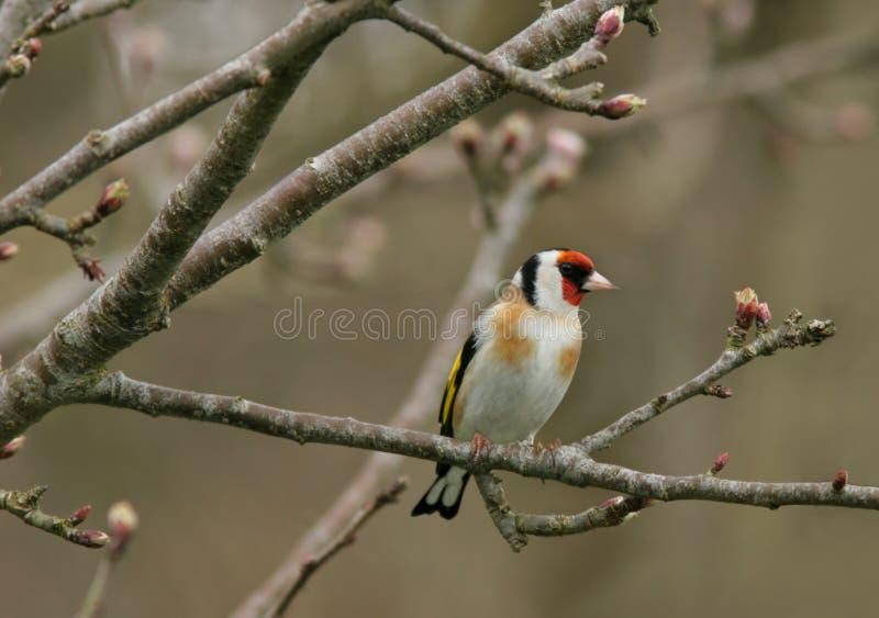 El Goldfinch fotografía de archivo