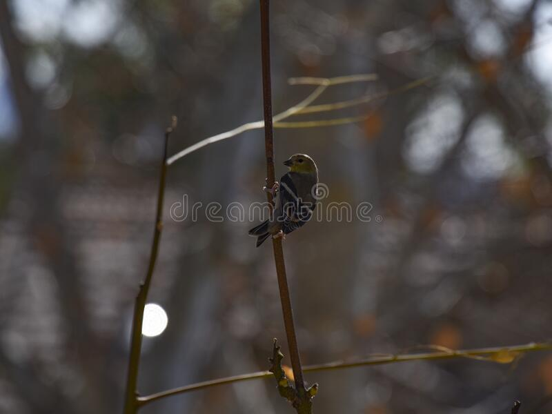 El Goldfinch americano en el plumaje invernal encaramado y enfrentado fotografía de archivo libre de regalías