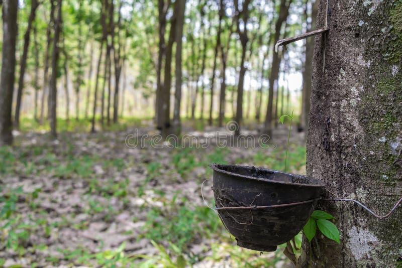 El golpear ligeramente para la fila del brasiliensis de la Hevea del árbol de goma de Para agrícola Hojas verdes en fondo de la n fotografía de archivo libre de regalías