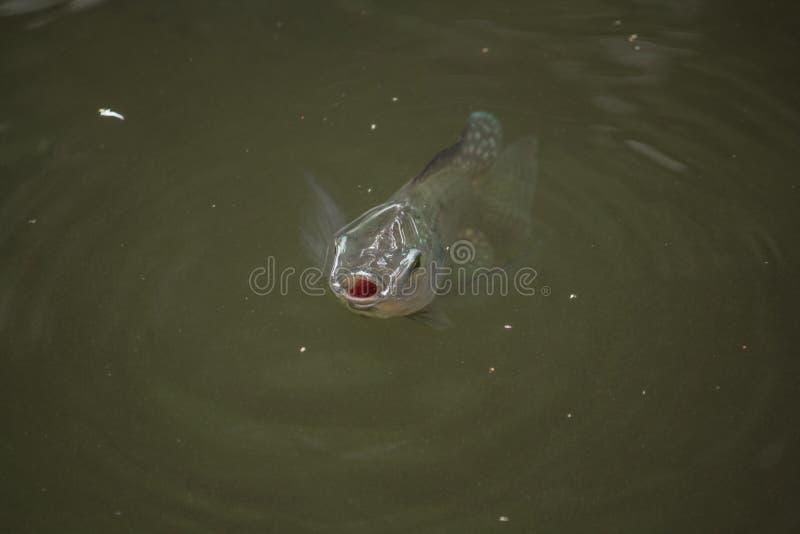 El gonionotus de Barbonymus est? en el agua fotografía de archivo libre de regalías