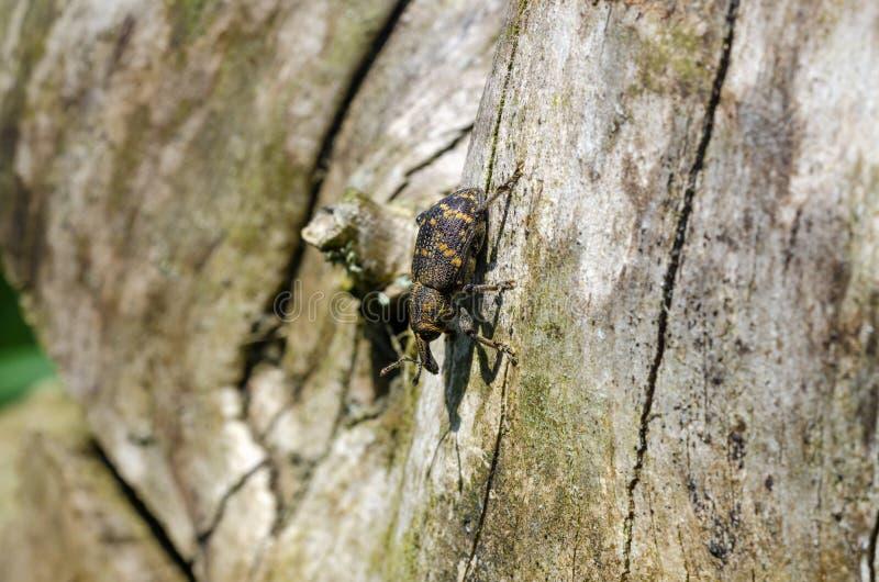 El gorgojo grande del pino en rama fotografía de archivo