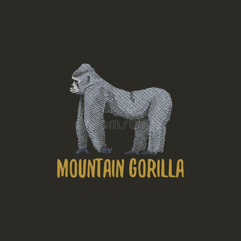 El gorila de montaña grabó la mano dibujada en viejo estilo del bosquejo, animales del vintage Mono, mono o logotipo o emblemas d ilustración del vector