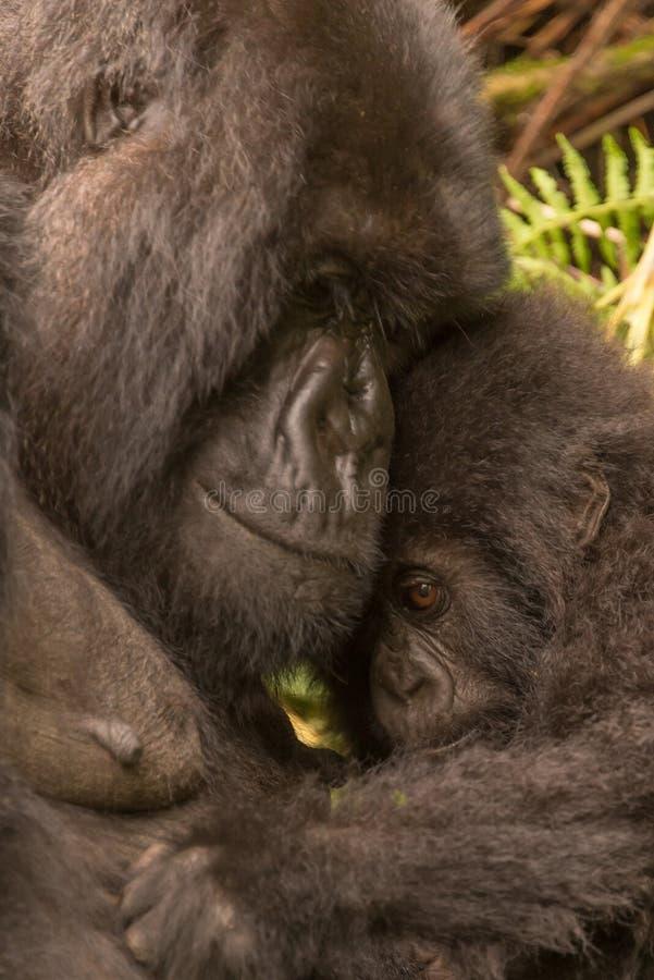 El gorila del bebé celebrado por la madre parece tímido fotografía de archivo