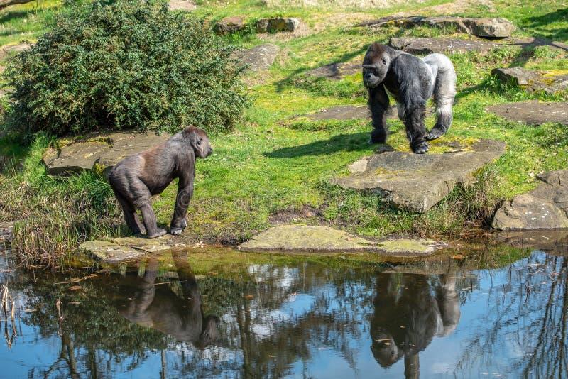 El gorila masculino aleja a una hembra que venga demasiado cerca imágenes de archivo libres de regalías
