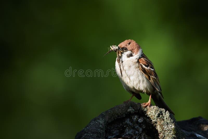 El gorrión de árbol, montanus del transeúnte, solo pájaro alimenta el joven por los insectos imagenes de archivo