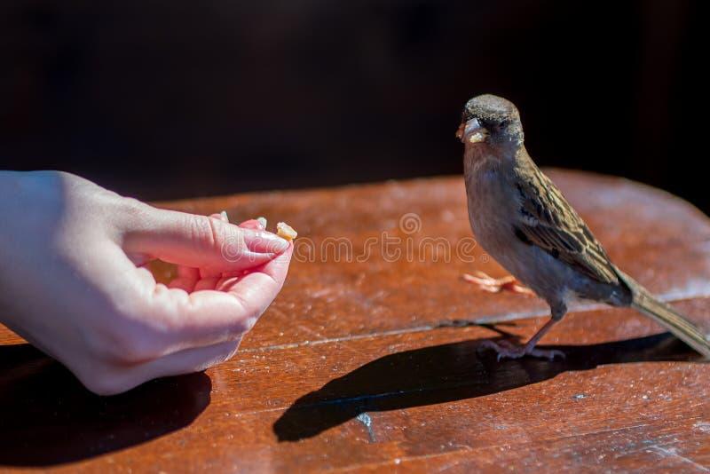 El gorrión de la ciudad está comiendo de la mano imagen de archivo libre de regalías