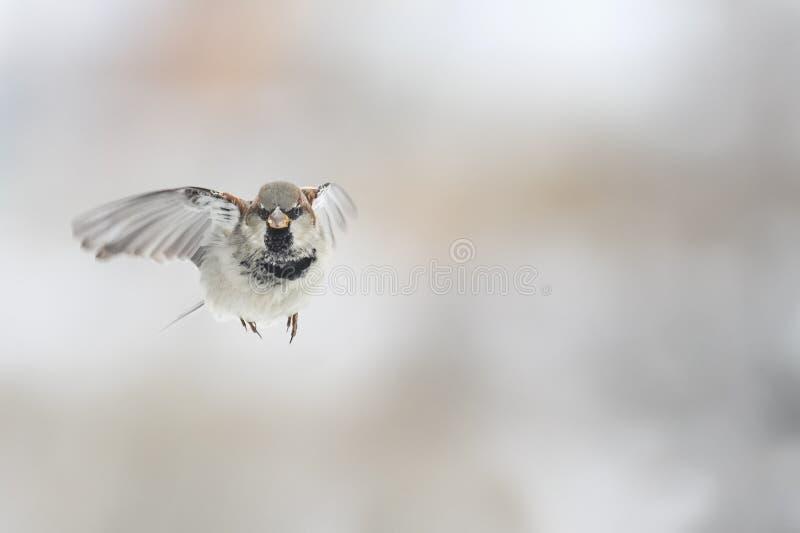 El gorrión del pájaro está volando derecho en el cielo imágenes de archivo libres de regalías